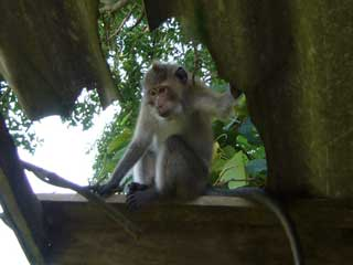 Monkey On The Roof